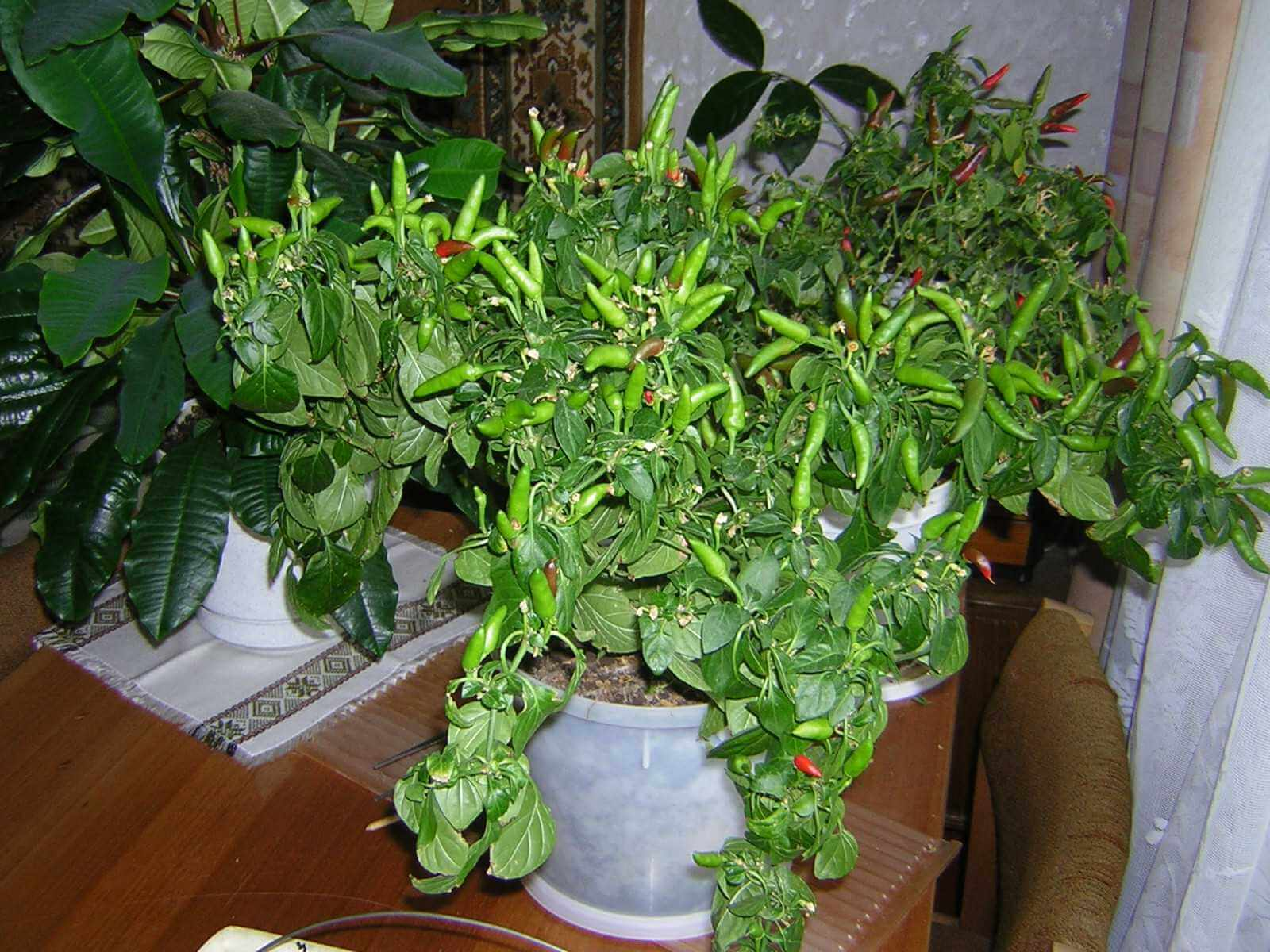 Рассада перца с нуля в домашних условиях: все для начинающих огородников
