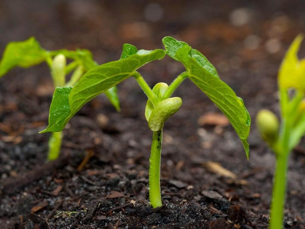 Секреты выращивания гороха в открытом грунте