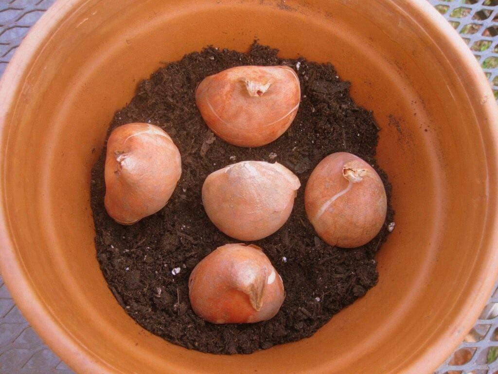 Сорта тюльпанов для выгонки: ассортимент, где покупать и как вырастить зимой или ранней весной