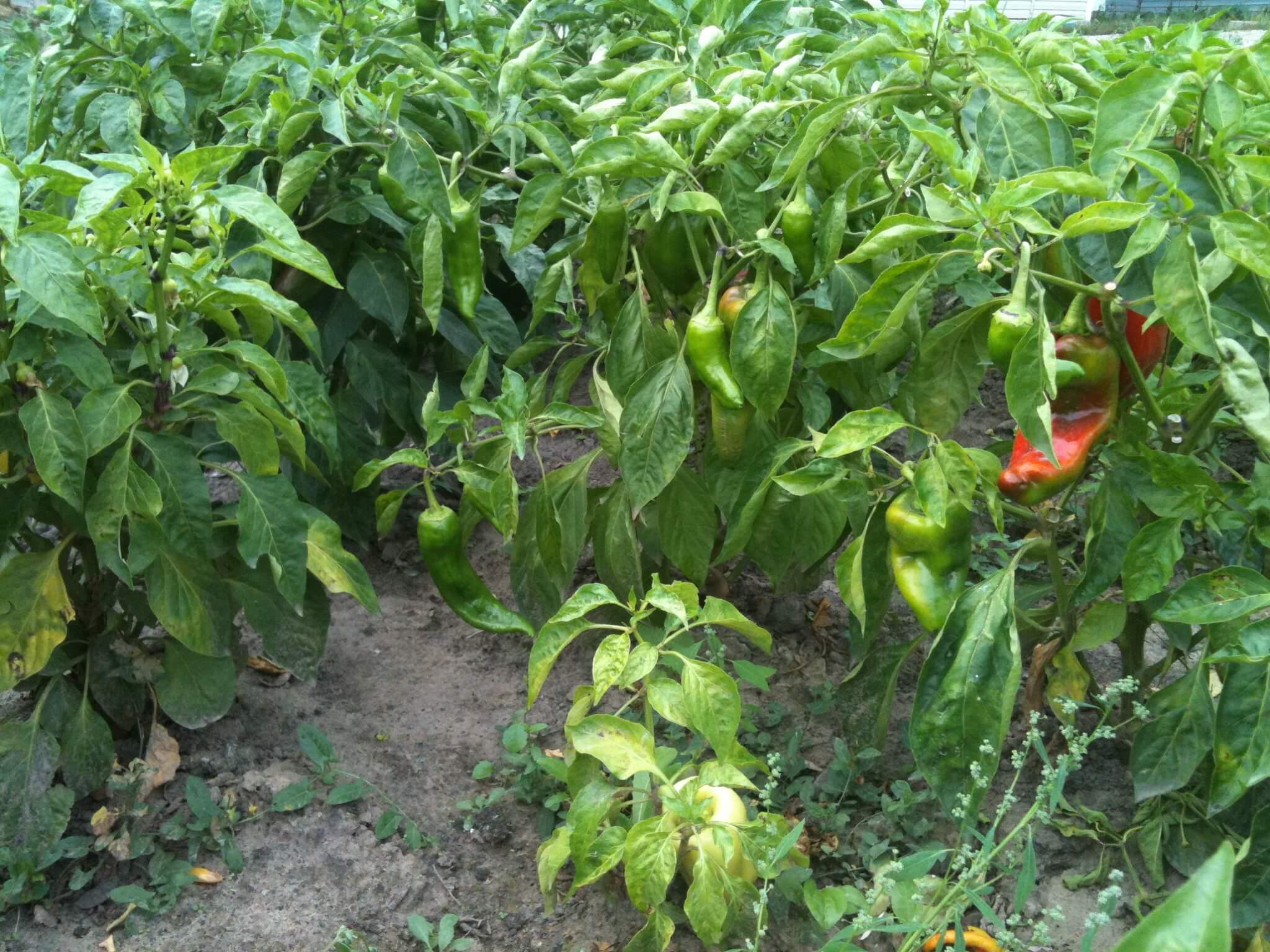 Формирование перца: основные этапы и рекомендации опытных агрономов
