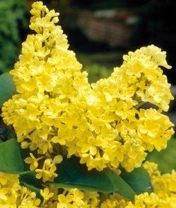 Желтая сирень