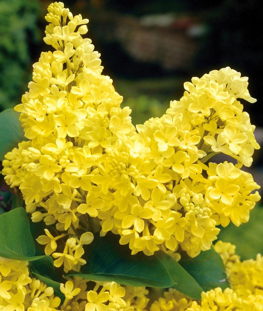 Как вырастить желтую сирень: основные правила ухода за растением