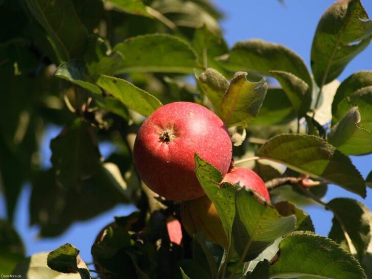 Сочное яблоко на ветке