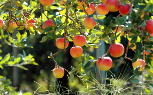 Один из сортов яблони
