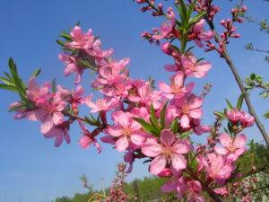 Миндаль может отлично вписаться в дизайне вашего сада