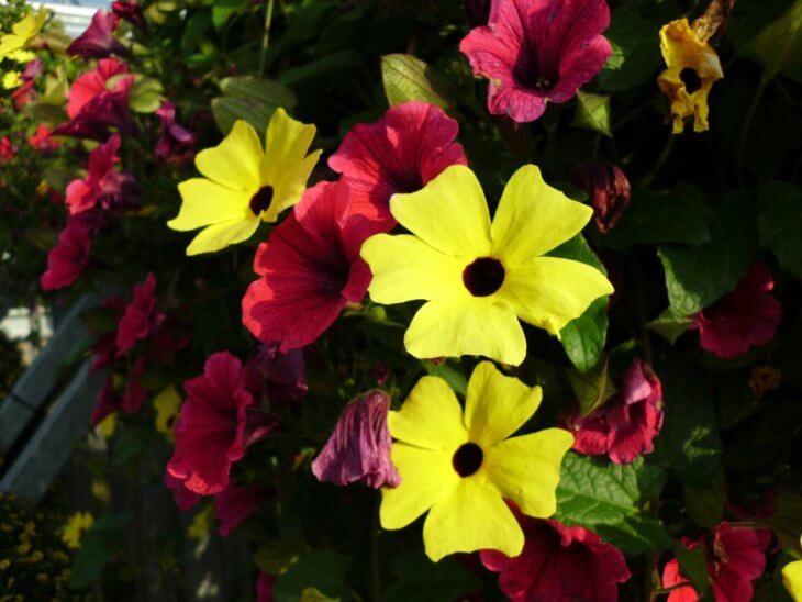 Разные краски цветения тунбергии