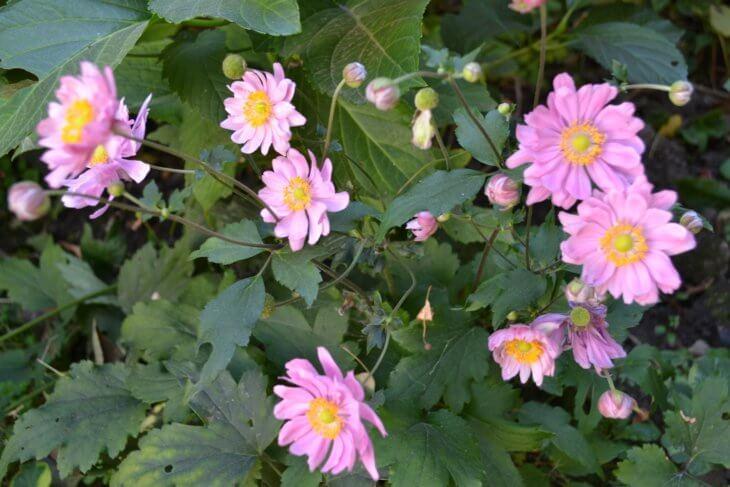Цветение анемоны