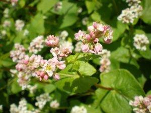 Молодые растения гречихи