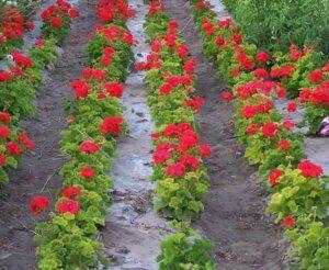 Выращивание герани в открытом грунте