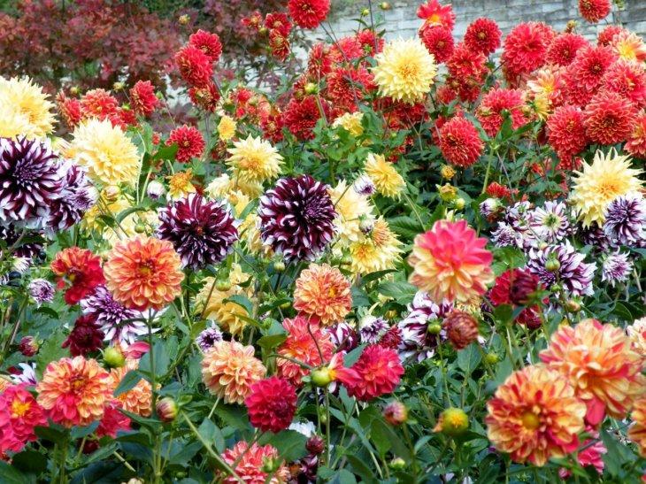 Красочный цветник с георгинами