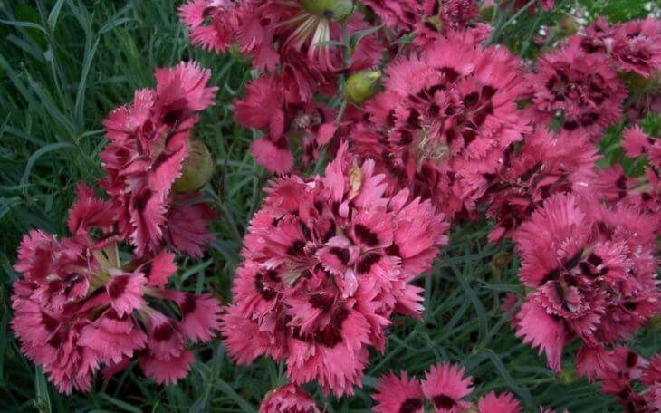 Цветение гвоздики гренадин