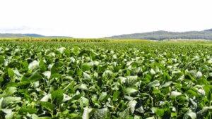 Выращивание фасоли в поле