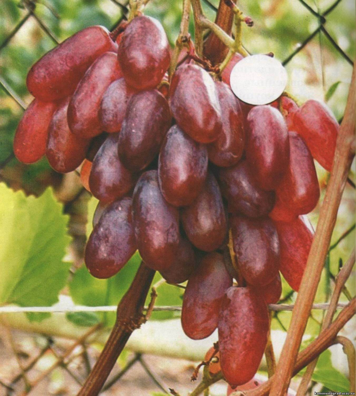 Сорт винограда Сенсация: характеристика, посадка, основной уход