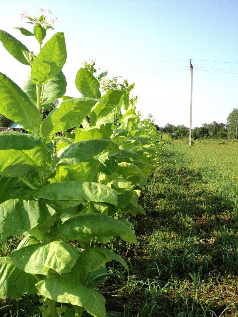 Выращивание табака самосада из рассады: правильный уход, уборка и хранение