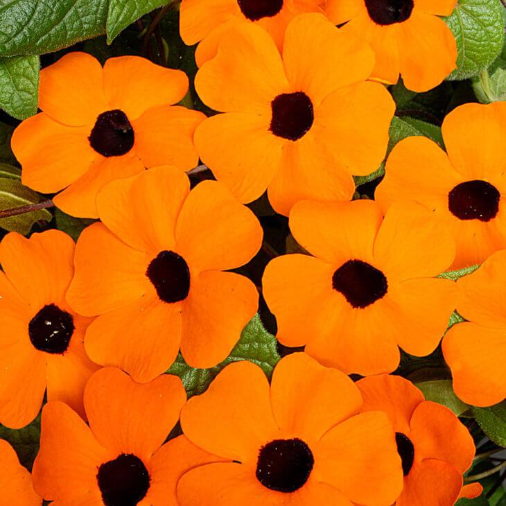 Один из видов цветения тунбергии