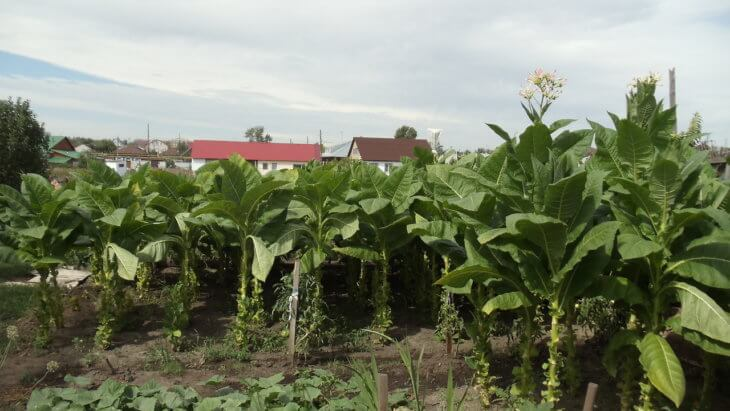 Масштабное выращивание табака