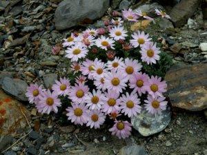 Цветение дендрантемы
