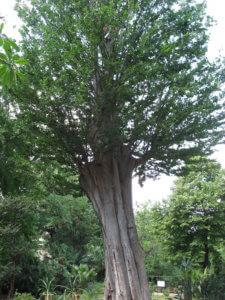 Взрослое дерево дзельквы