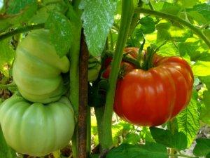 Урожай томатов Летом