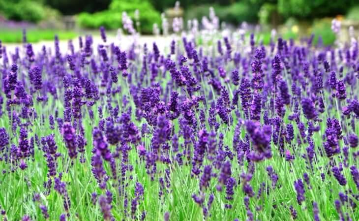 Лаванда прекрасно украсит ваш сад