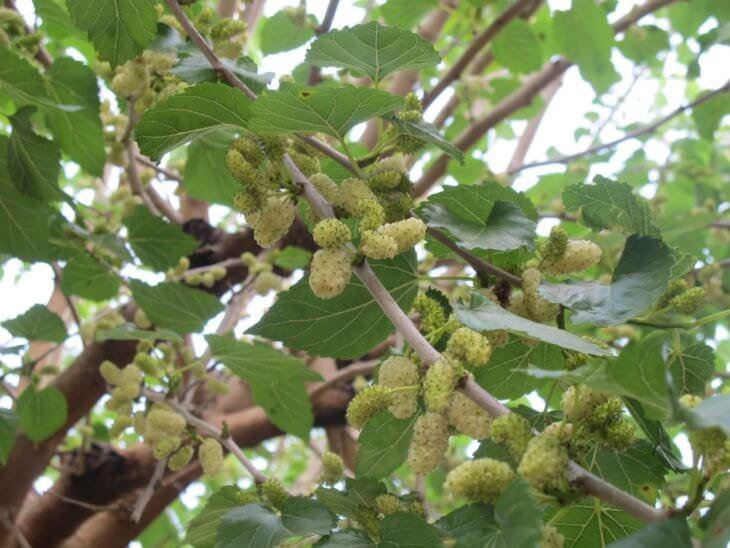 Поспевание ягод шелковицы