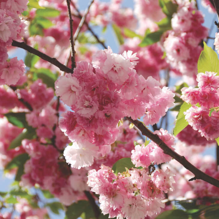 Цветение одного из сортов вишни