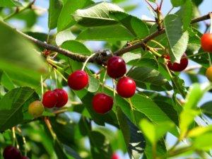 Плоды вишни, которые могут вырасти в вашем саду
