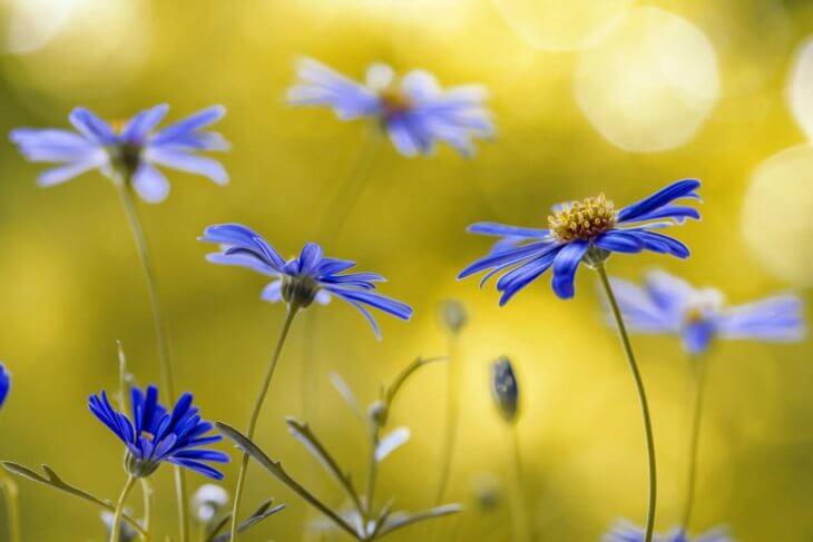 Цветение брахикомы