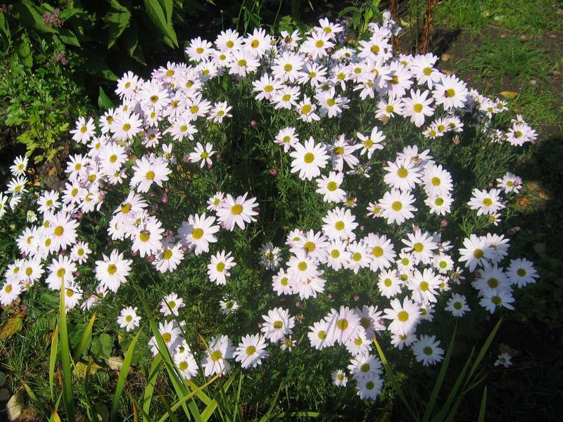 Дендрантема: красивое растение, цветущее до зимы