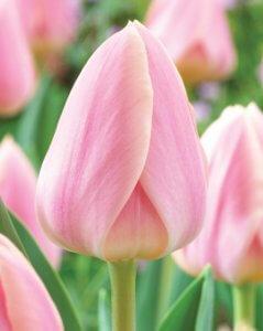 Пышное цветение тюльпана