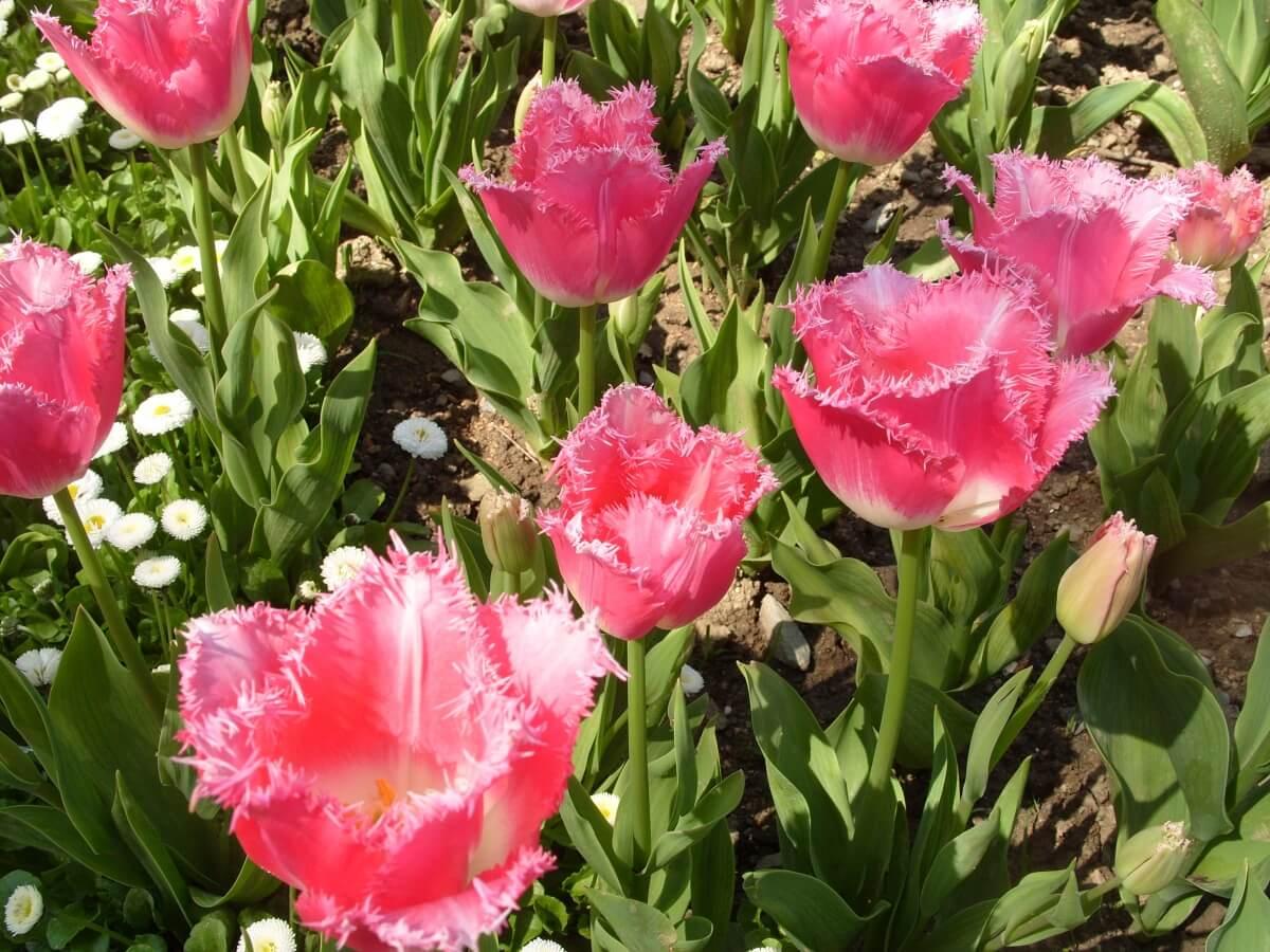 Бахромчатые тюльпаны: классификация и особенности выращивания в саду