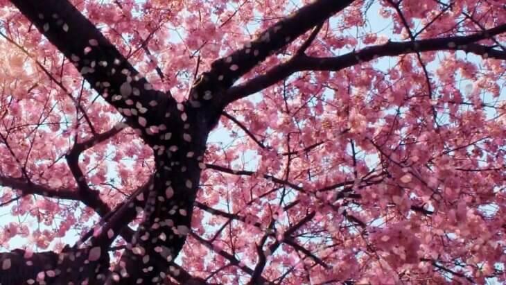 Прекрасное цветение вишни