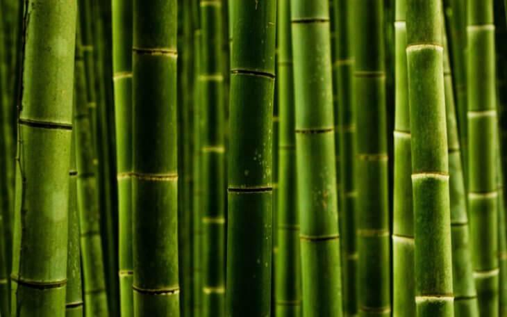 Взрослый бамбук