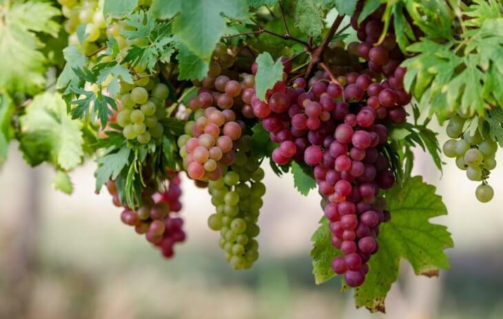 Богатый урожай винограда