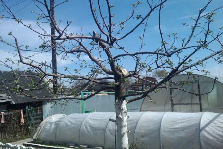 Так выглядит яблоня весной