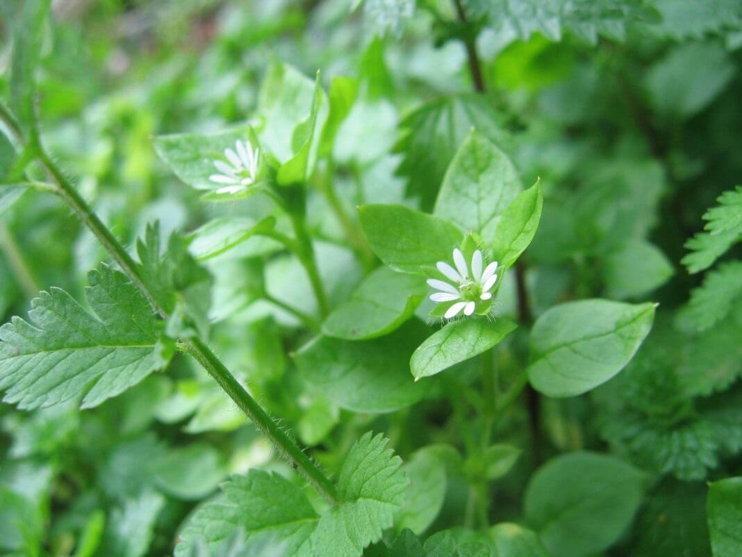Звездчатка обыкновенная: основные особенности растения