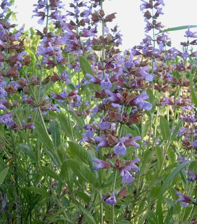 Трава КОЗЛЯТНИК лекарственный - свойства и применение