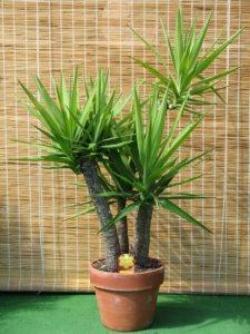Выращивание юкки в домашних условиях
