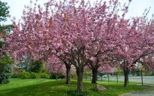 Взрослые деревья сакуры