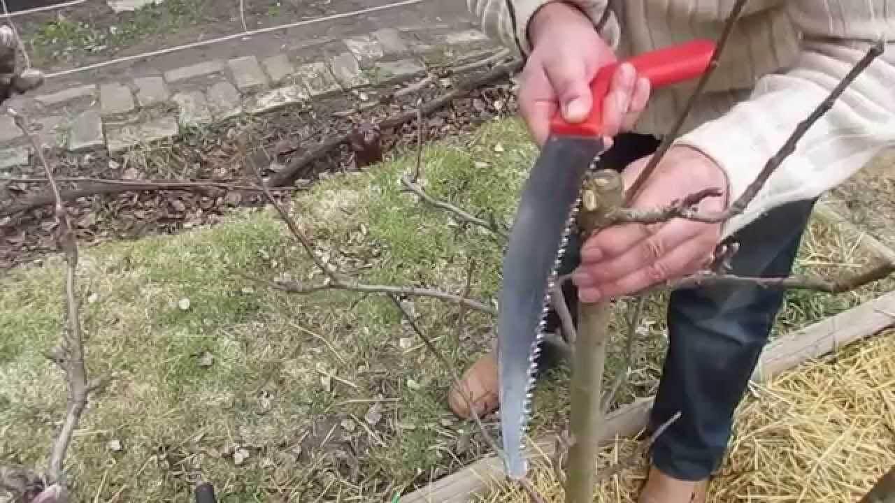 Сезонная обрезка дерева: как подрезать яблоню правильно