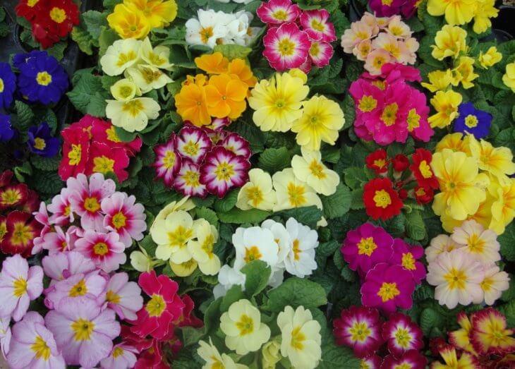 Яркие краски лета поможет создать примула