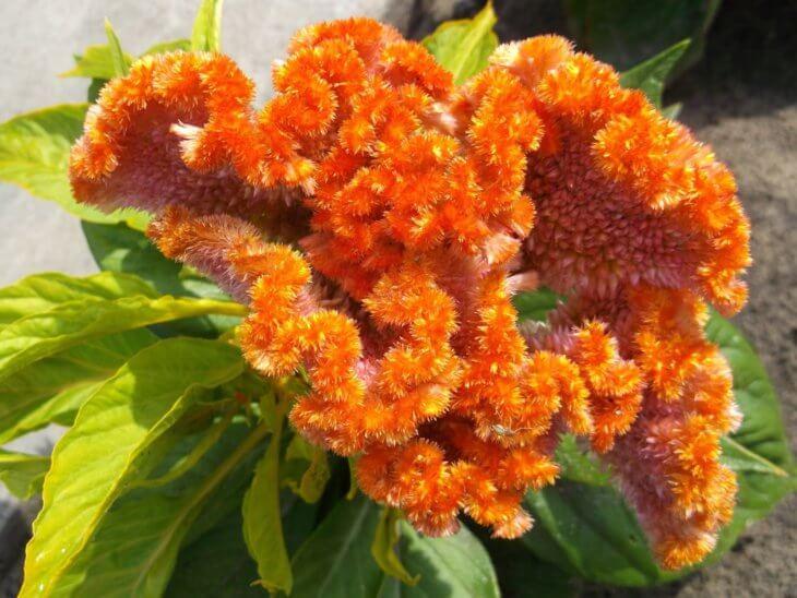 Одна из расцветок петушиного гребешка