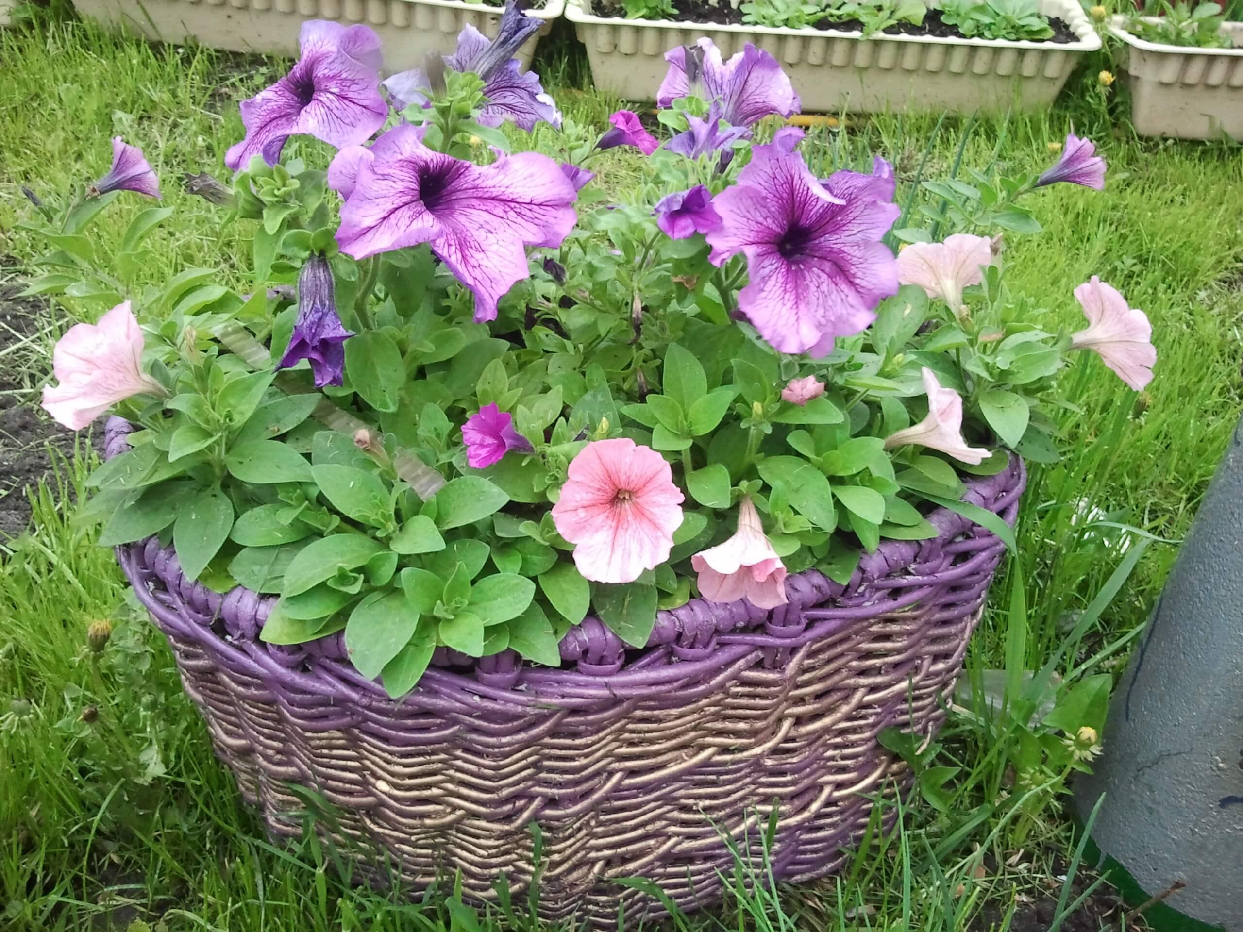 Правила выращивания петунии Шок Вейв и основы ухода за ней
