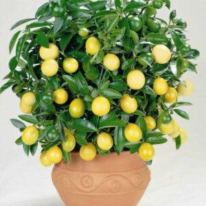 Как добиться цветения лимона в домашних условиях