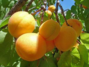 Поспевание абрикоса