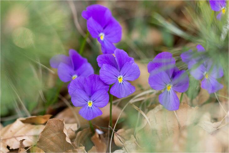Цветение горной фиалки