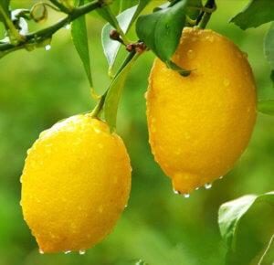 Поспевание лимонов на веточке