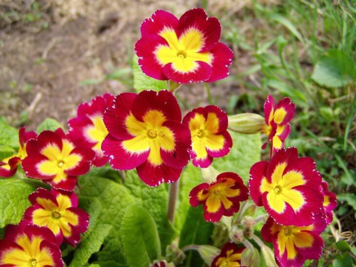 Первое цветение примулы