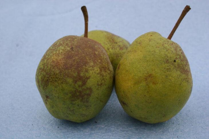 Поспевшие плоды груши