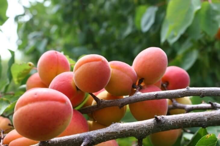 Один из сортов абрикоса